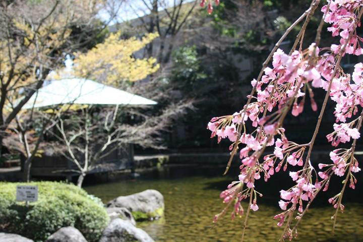 sakura_otaguro